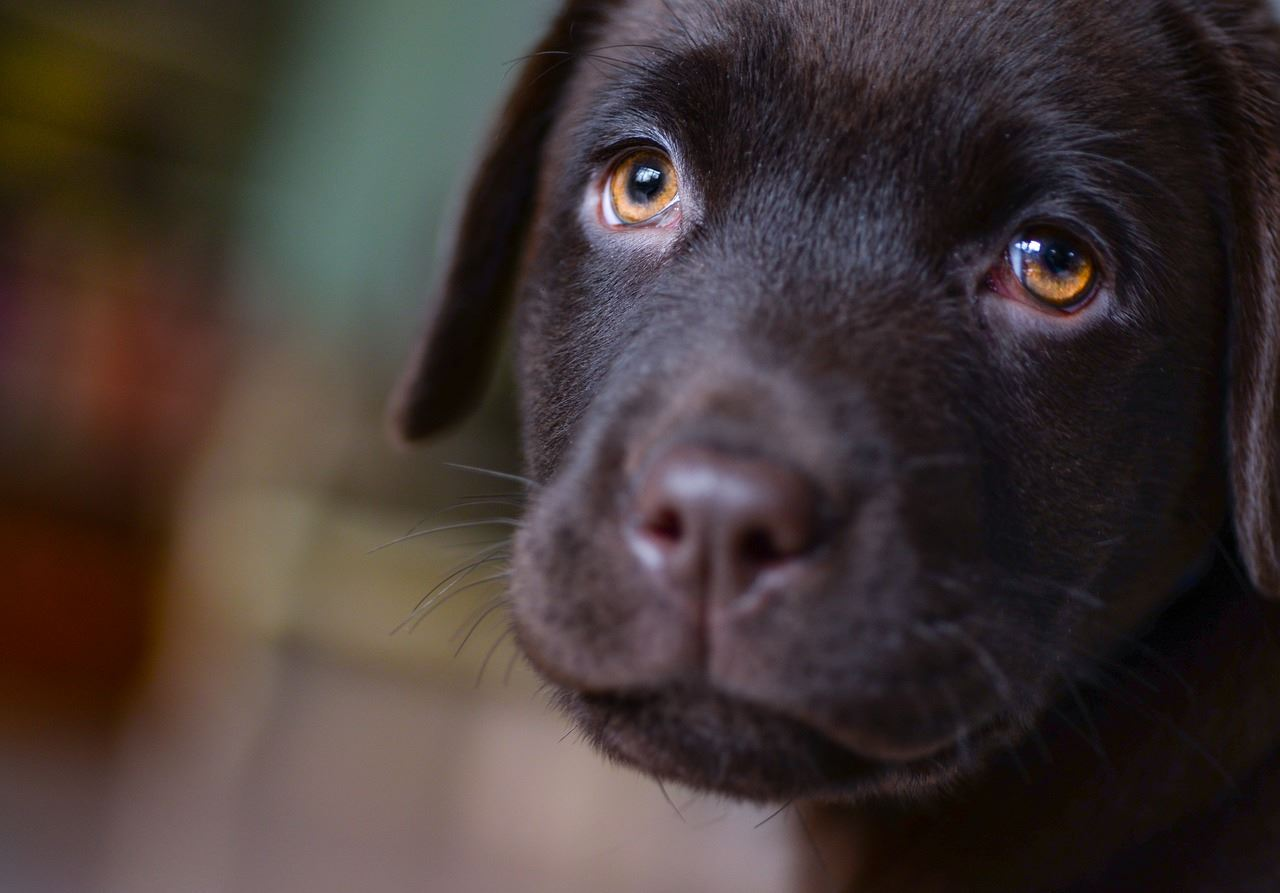 Chocolate lab pup looking at camera