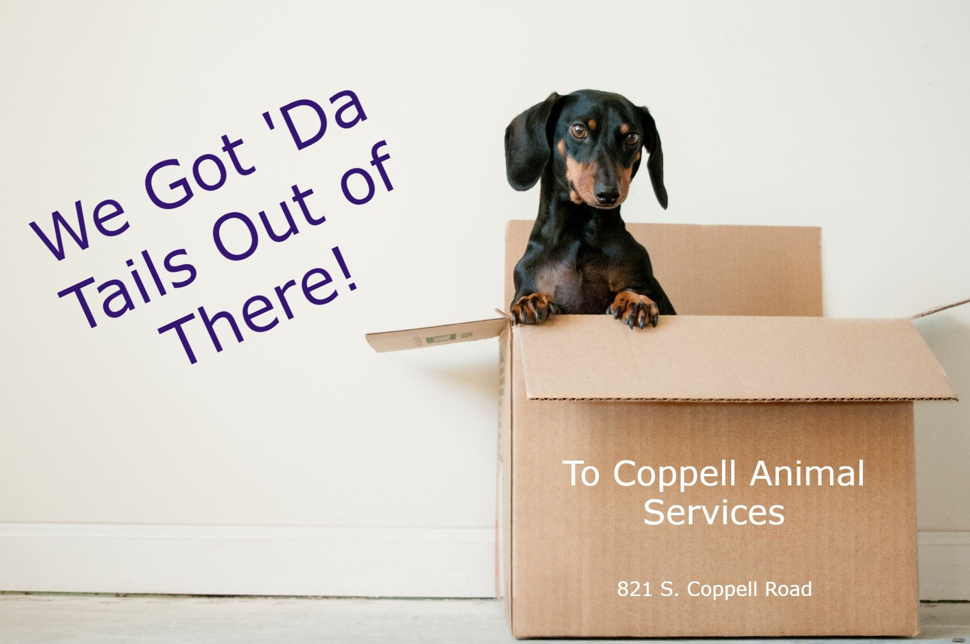 Dachshund, black and tan in color, coming out of moving box