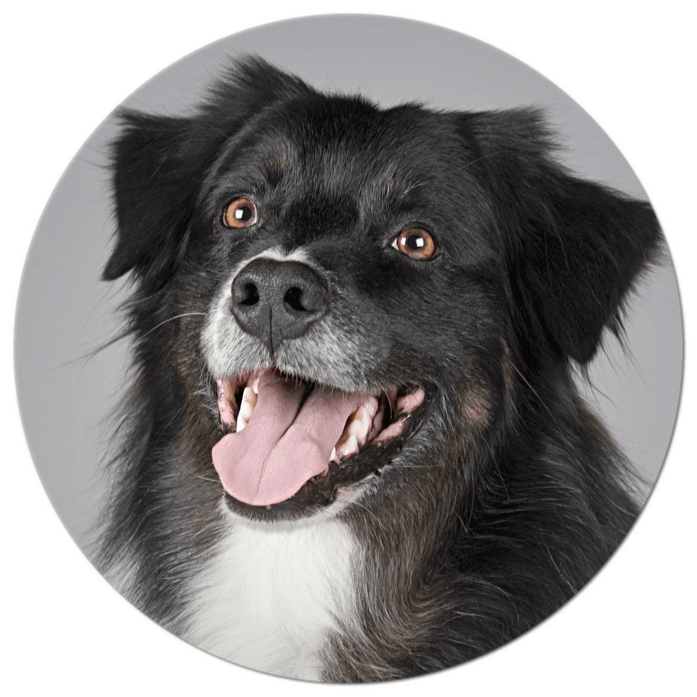 Adopt a Dog--picture of black and white herding dog