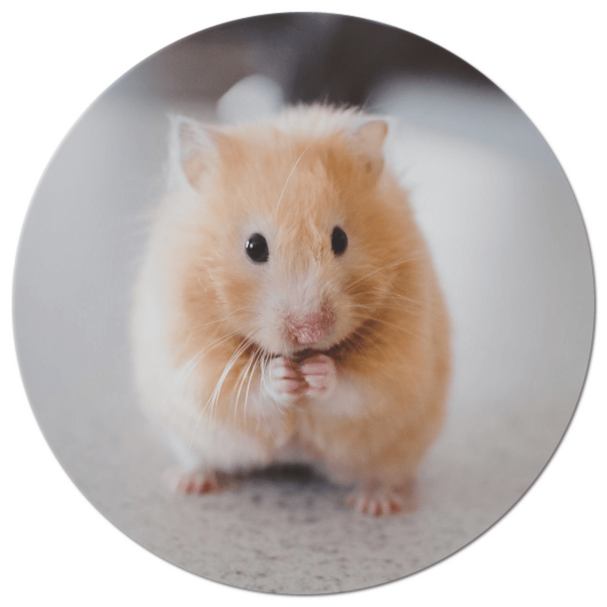 Small Mammal Adopt--picture of blonde hamster
