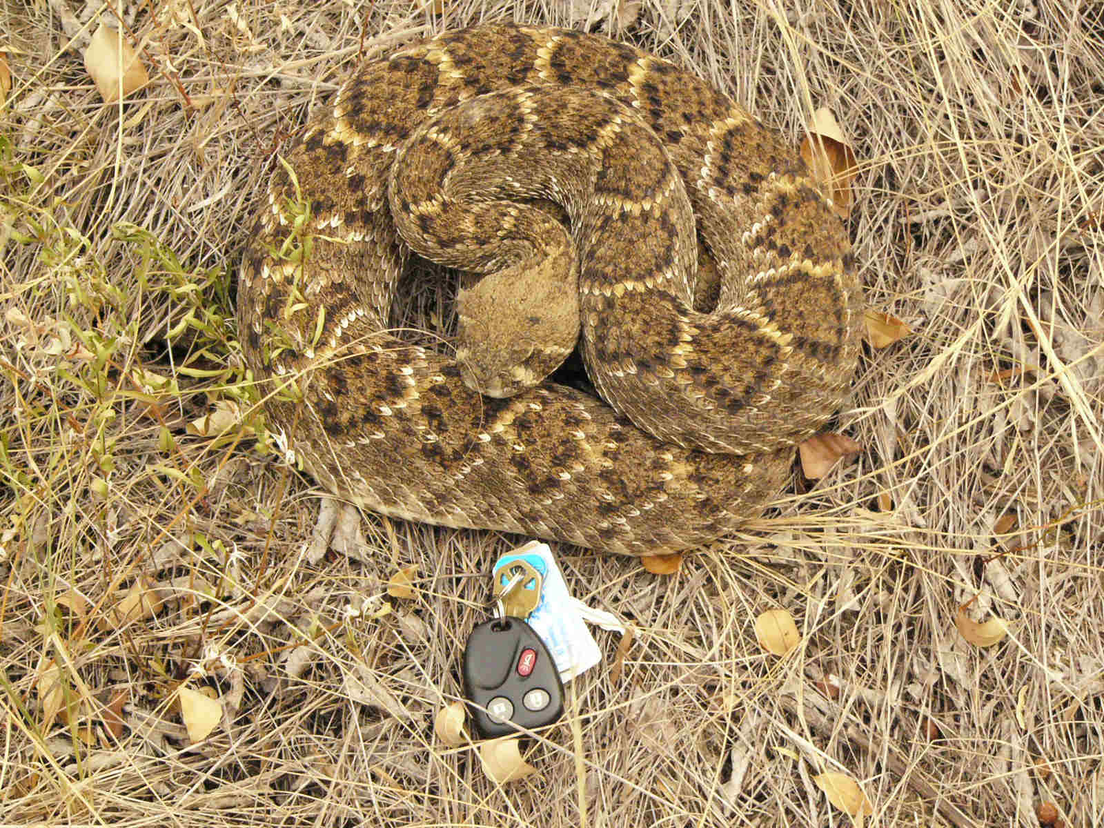 Rattlesnake on ground with car keys for size comparison
