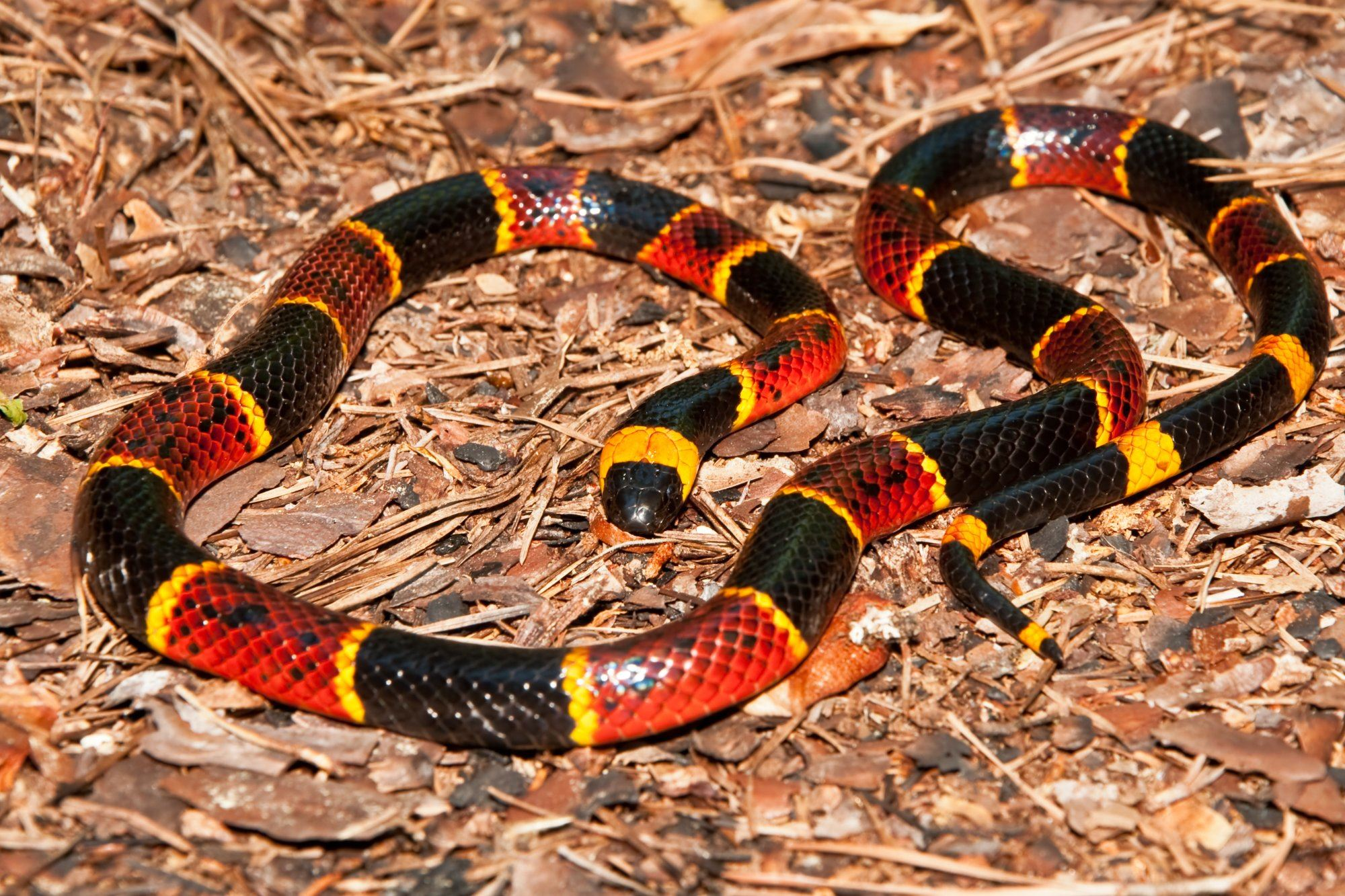 Coral snake on ground
